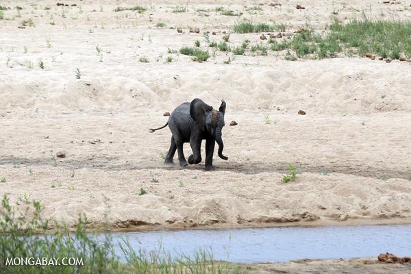 African elephant [south_africa_kruger_0899]