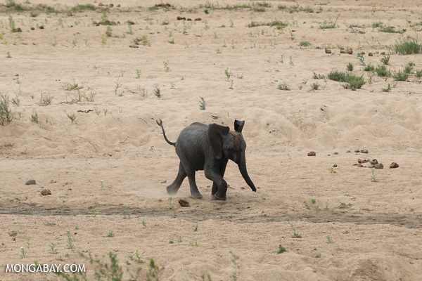 African elephant [south_africa_kruger_0902]