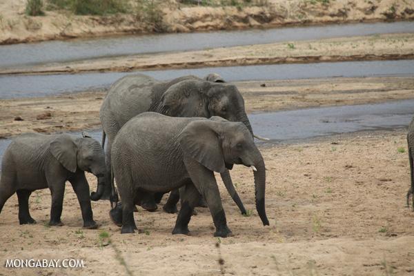Elephant [south_africa_kruger_0922]