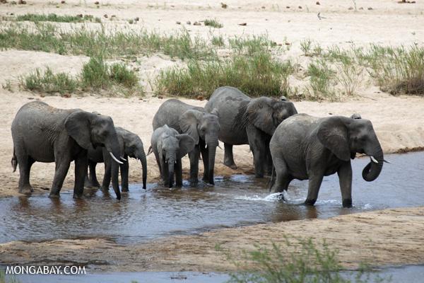 Elephant [south_africa_kruger_0929]