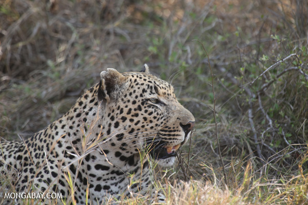 Leopard in Kruger National Park, South Africa. Photo by: Rhett A. Butler.