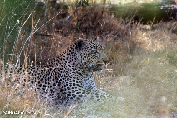 African leopard [south_africa_kruger_0965]