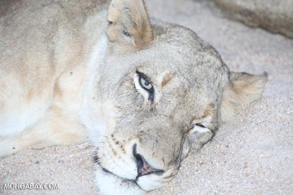 Lion [south_africa_kruger_1000]
