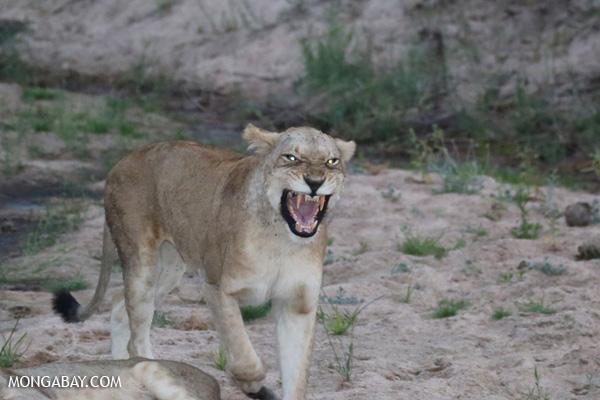 Lion [south_africa_kruger_1003]