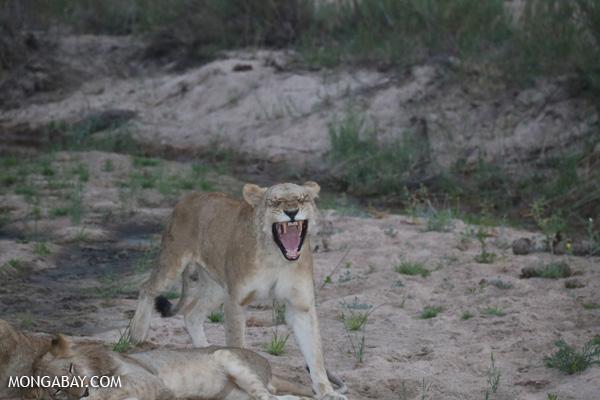 Lion [south_africa_kruger_1005]