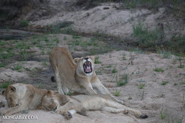 Lion [south_africa_kruger_1016]