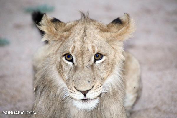 Lion [south_africa_kruger_1035]