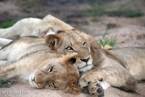 Lion [south_africa_kruger_1038]