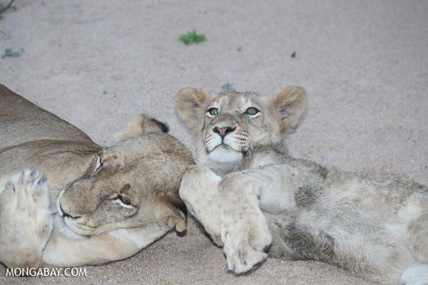 Lion [south_africa_kruger_1042]