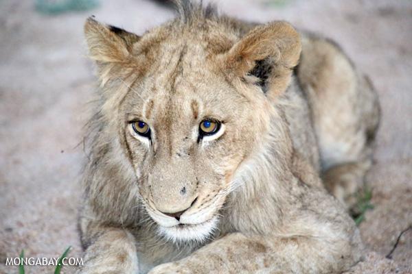 Lion [south_africa_kruger_1048]