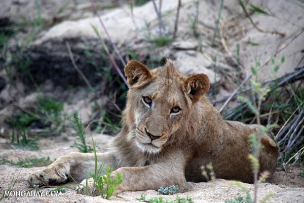 Lion [south_africa_kruger_1076]