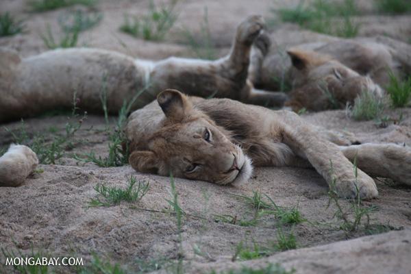 Lion [south_africa_kruger_1078]