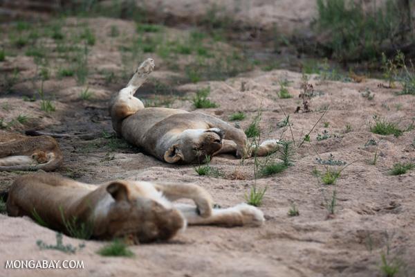 Lion [south_africa_kruger_1083]