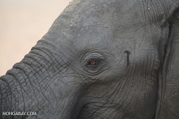 Elephant [south_africa_kruger_1125]