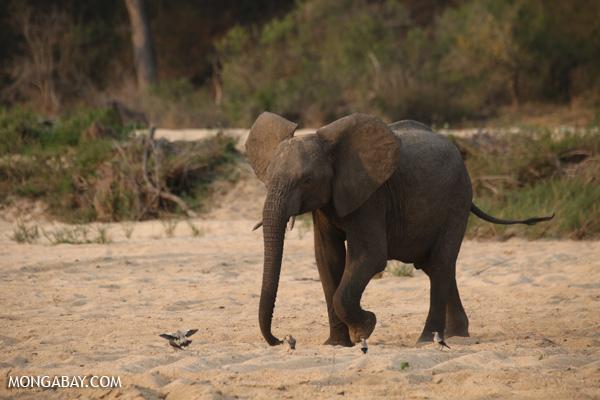 Elephant [south_africa_kruger_1149]