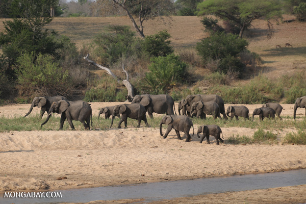 Elephant [south_africa_kruger_1159]