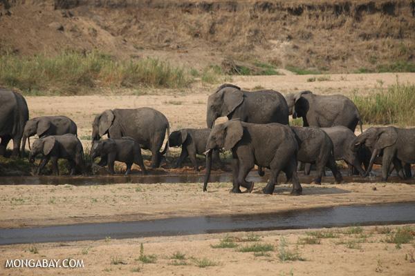 Elephant [south_africa_kruger_1166]