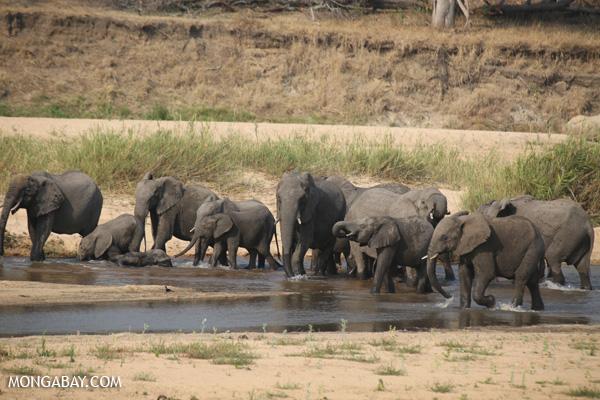 Elephant [south_africa_kruger_1171]