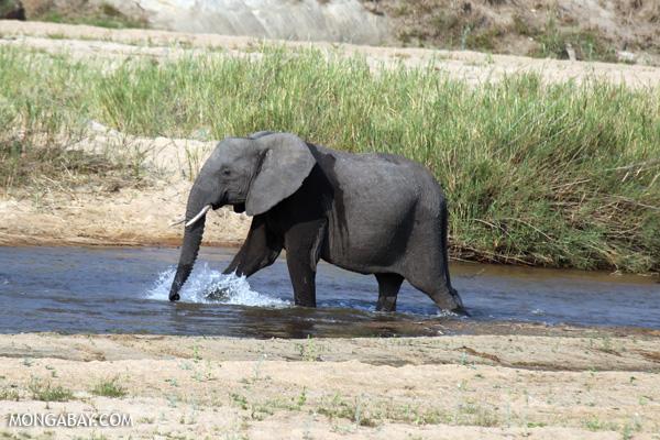 Elephant [south_africa_kruger_1176]