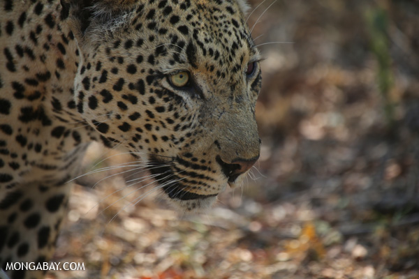 African leopard (Panthera pardus) [south_africa_kruger_5066]