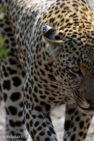 African leopard [south_africa_kruger_5071]