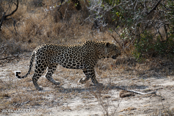 African leopard [south_africa_kruger_5081]