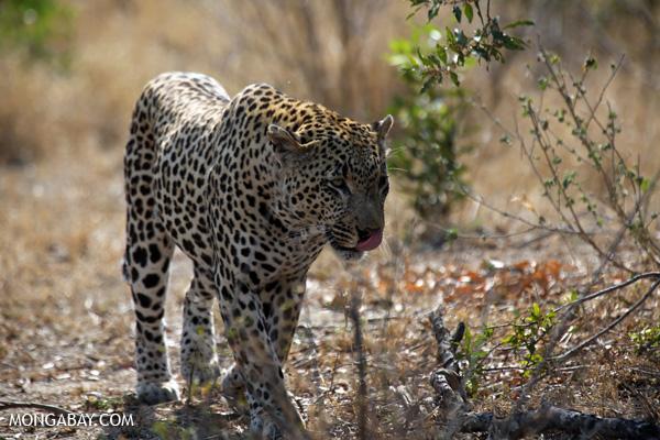 African leopard [south_africa_kruger_5101]