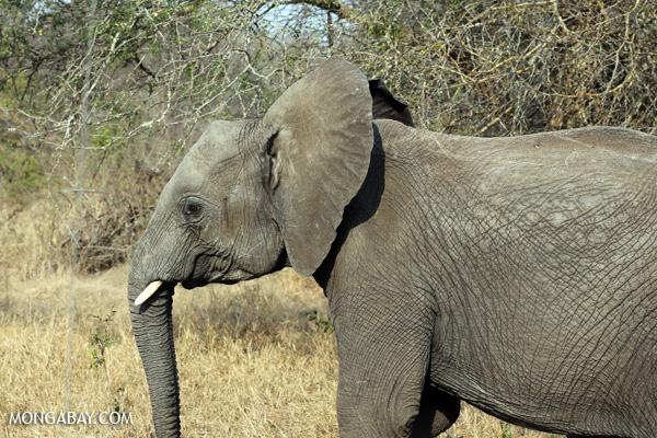 Elephant [south_africa_kruger_5151]
