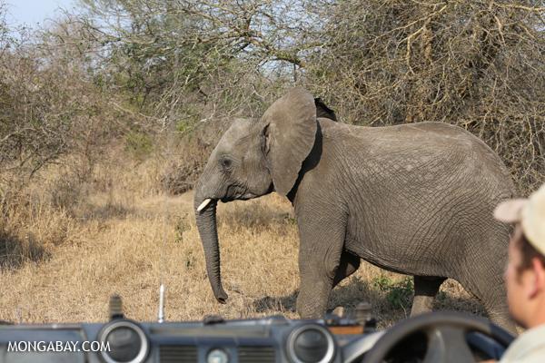Elephant [south_africa_kruger_5152]