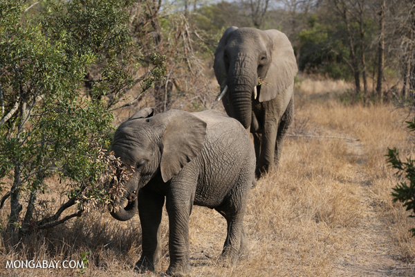 African elephant [south_africa_kruger_5155]