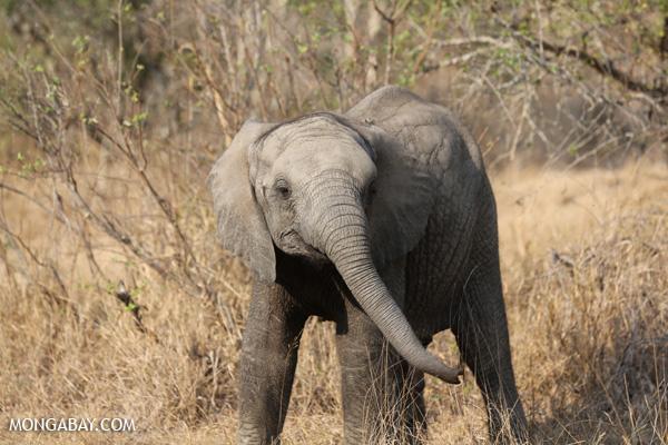 African elephant [south_africa_kruger_5159]