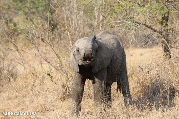 African elephant [south_africa_kruger_5160]