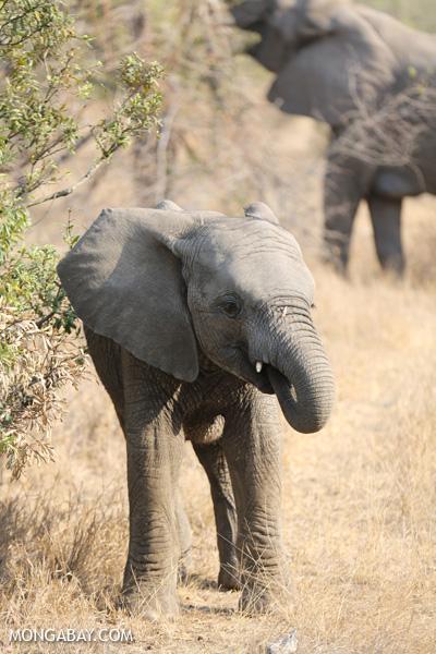 African elephant [south_africa_kruger_5164]