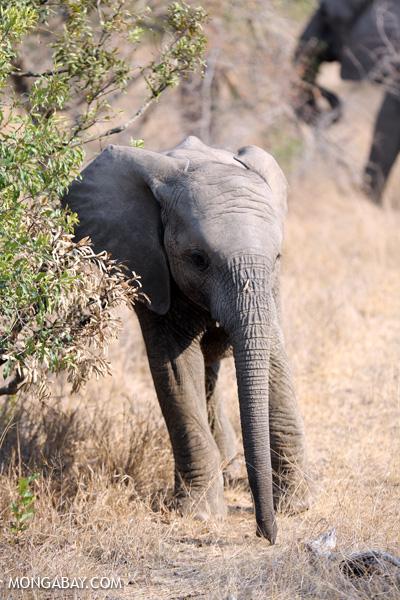 African elephant [south_africa_kruger_5169]