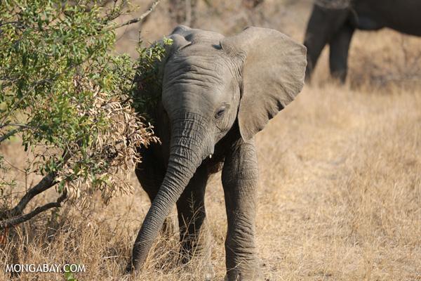 African elephant [south_africa_kruger_5171]
