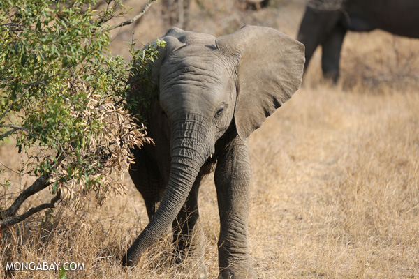 African elephant [south_africa_kruger_5172]