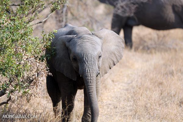 African elephant [south_africa_kruger_5175]