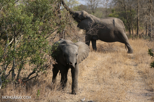 African elephant [south_africa_kruger_5178]