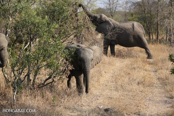 African elephant [south_africa_kruger_5179]