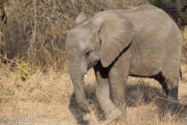 Elephant [south_africa_kruger_5181]