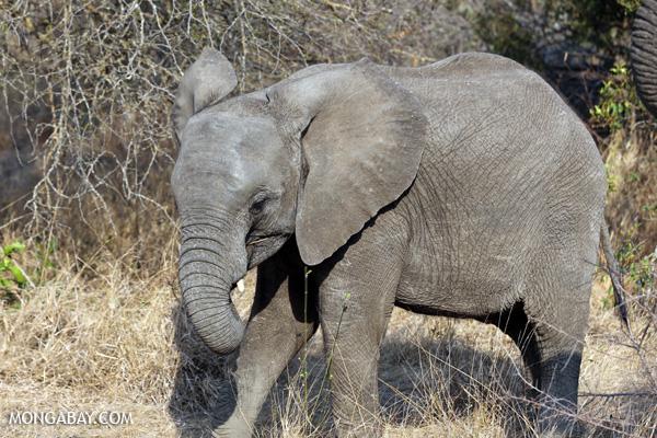 Elephant [south_africa_kruger_5184]