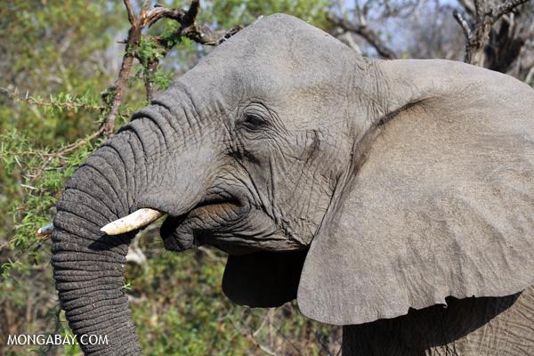 Elephant [south_africa_kruger_5185]