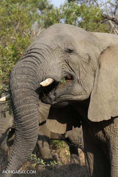 Elephant [south_africa_kruger_5188]