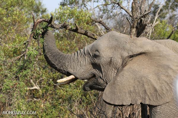 Elephant [south_africa_kruger_5194]