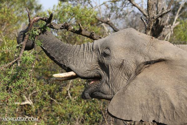 Elephant [south_africa_kruger_5196]