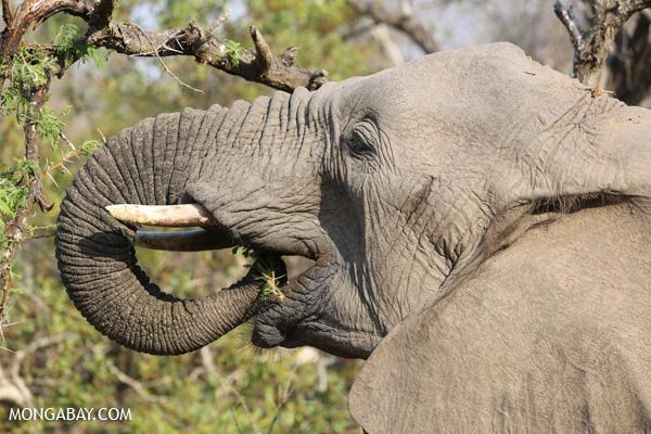 Elephant [south_africa_kruger_5198]