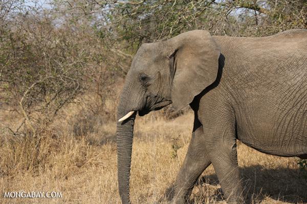 Elephant [south_africa_kruger_5205]