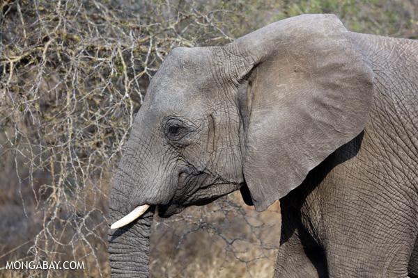 Elephant [south_africa_kruger_5208]