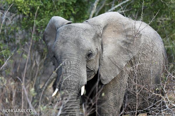 Elephant [south_africa_kruger_5210]