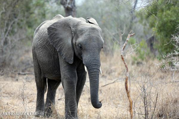 Elephant [south_africa_kruger_5215]
